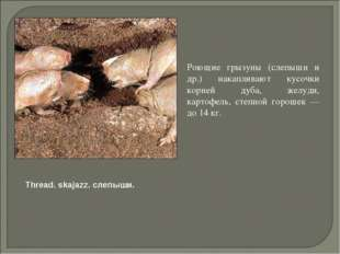 Роющие грызуны (слепыши и др.) накапливают кусочки корней дуба, желуди, карт