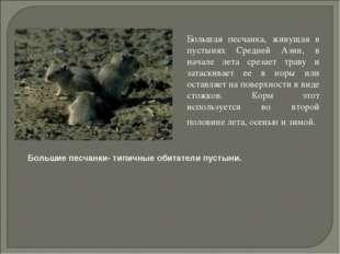 Большая песчанка, живущая в пустынях Средней Азии, в начале лета срезает тра