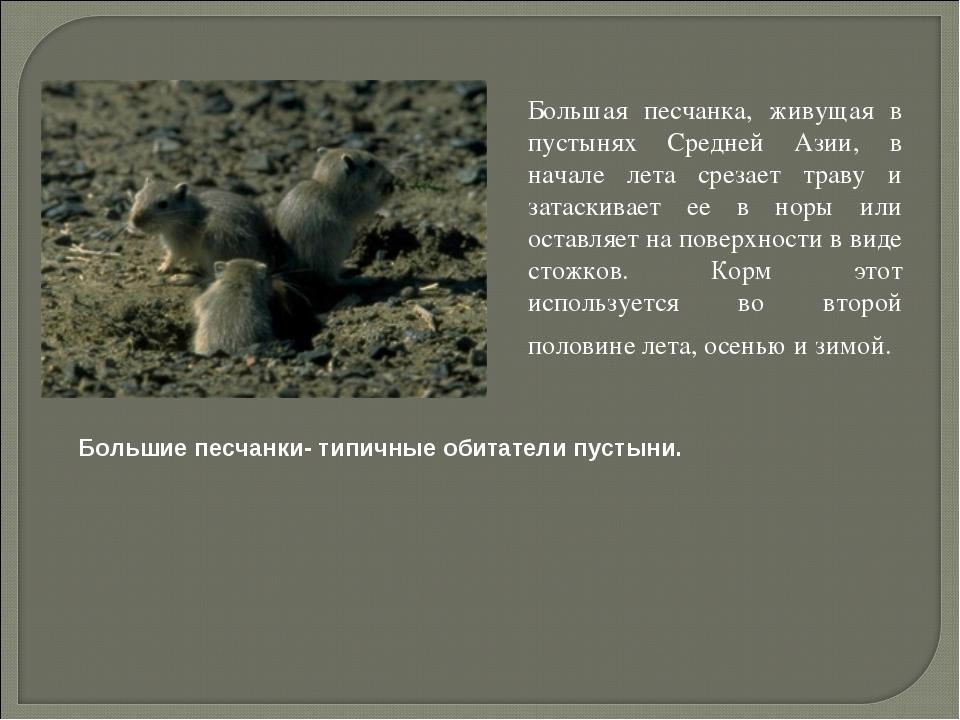 Большая песчанка, живущая в пустынях Средней Азии, в начале лета срезает тра...