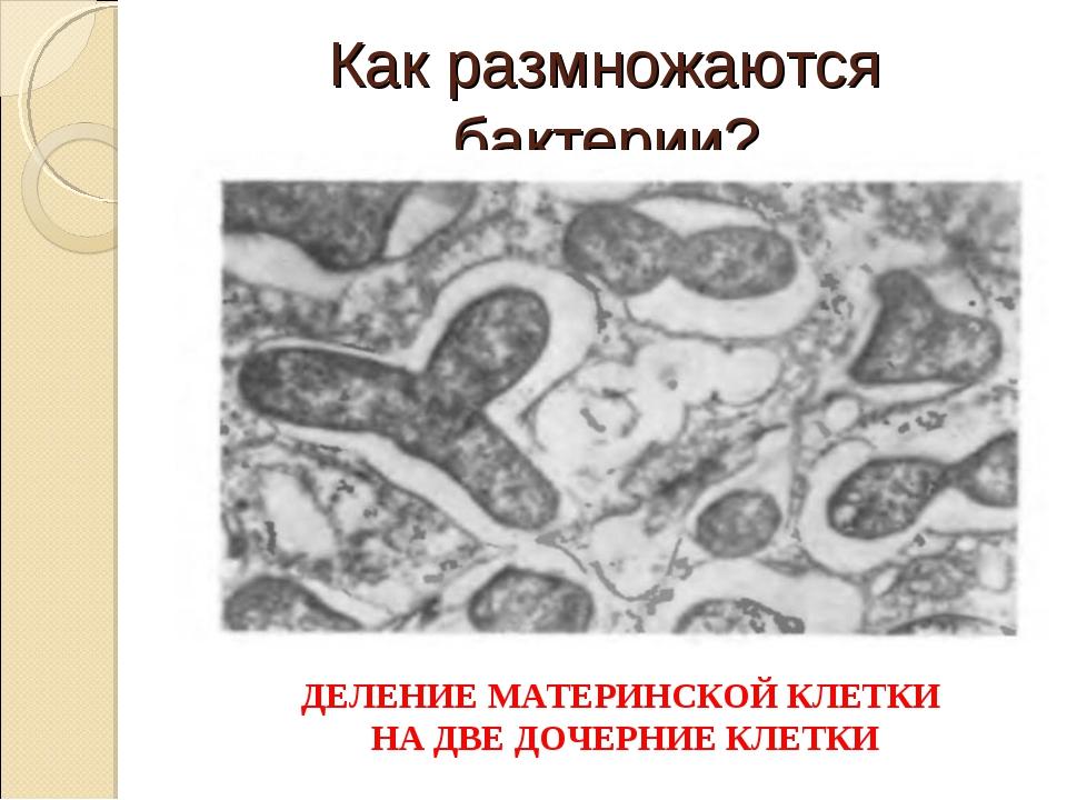 Как размножаются бактерии? ДЕЛЕНИЕ МАТЕРИНСКОЙ КЛЕТКИ НА ДВЕ ДОЧЕРНИЕ КЛЕТКИ