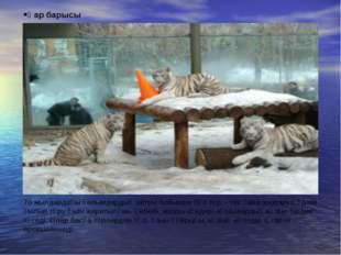 Қар барысы 70 жылдардағы ғалымдардың айтуы бойынша бұл түр – тек қана зоопарк