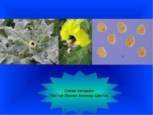 Слева направо: Листья (Белая Белена) Цветок