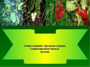 Слева направо: Крушина ломкая, Снежноягодник белый, Бузина