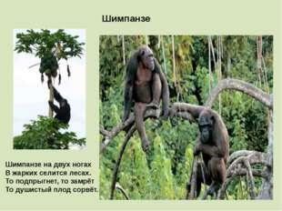Шимпанзе Шимпанзе на двух ногах В жарких селится лесах. То подпрыгнет, то зам