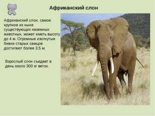 Африканский слон Африканский слон, самое крупное из ныне существующих наземны