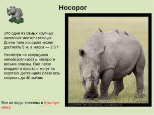 Носорог Несмотря на кажущуюся неповоротливость, носороги весьма опасны. Они л