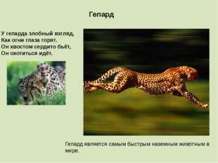 Гепард является самым быстрым наземным животным в мире. Гепард У гепарда злоб