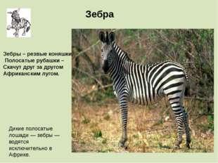 Дикие полосатые лошади — зебры — водятся исключительно в Африке. Зебра Зебры