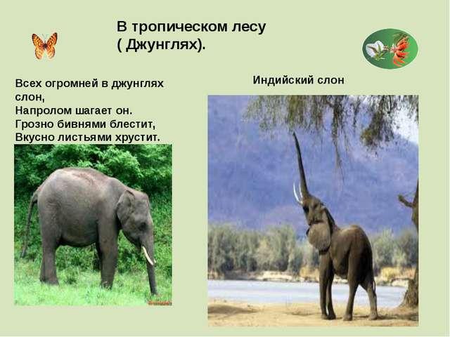 В тропическом лесу ( Джунглях). Индийский слон Всех огромней в джунглях слон,...