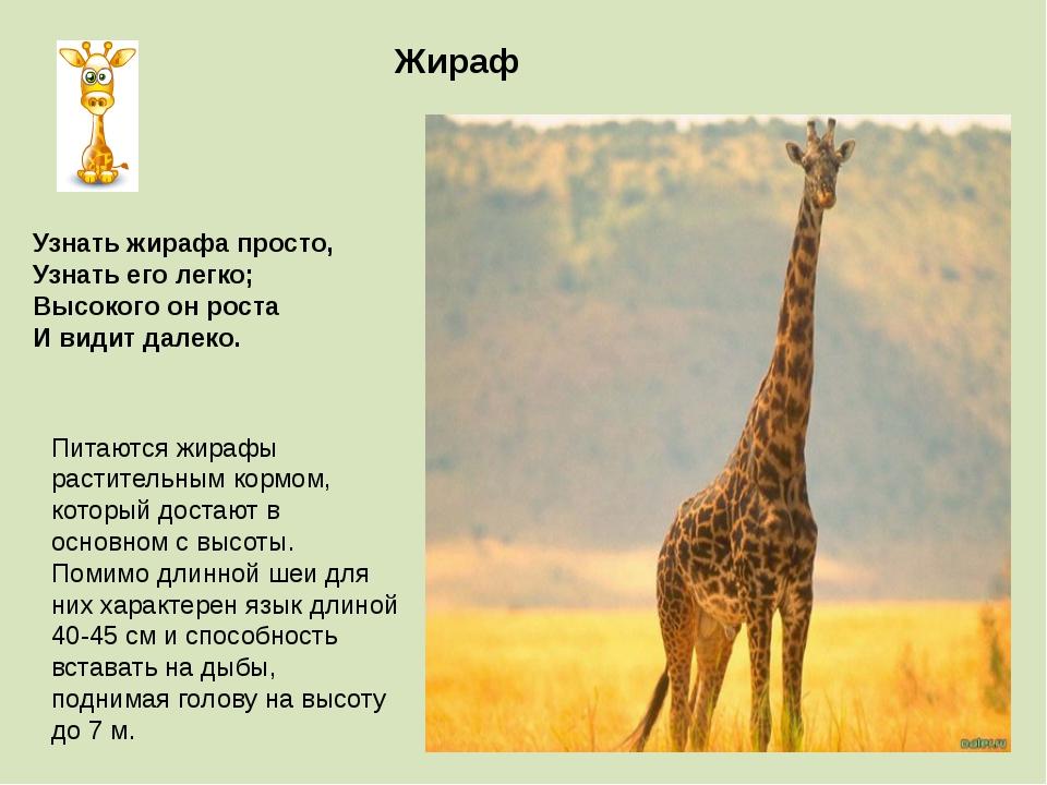 Жираф Питаются жирафы растительным кормом, который достают в основном с высот...