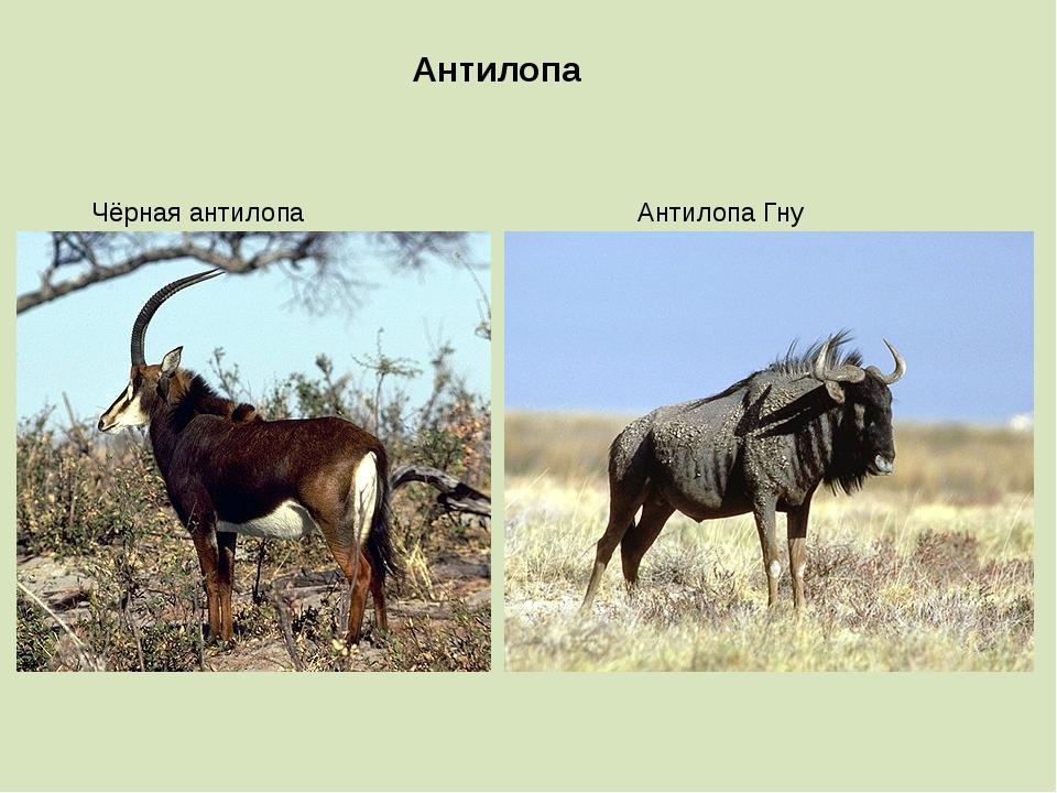 Антилопа Чёрная антилопа Антилопа Гну