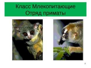 Класс Млекопитающие Отряд приматы *