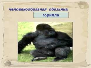 * Человекообразная обезьяна горилла