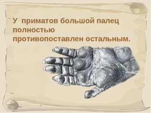 * У приматов большой палец полностью противопоставлен остальным.