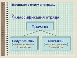 * Перепишите схему в тетрадь. Классификация отряда: Приматы Полуобезьяны (низ