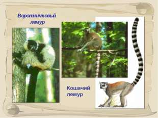 * Воротничковый лемур Кошачий лемур