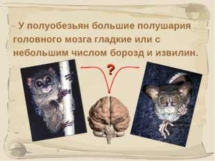 * У полуобезьян большие полушария головного мозга гладкие или с небольшим чис