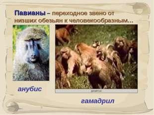 * Павианы – переходное звено от низших обезьян к человекообразным… анубис гам