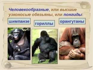 * Человекообразные, или высшие узконосые обезьяны, или понгиды: гориллы шимпа