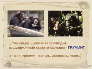 * …Так самка шимпанзе проводит традиционный осмотр малыша - ГРУМИНГ (от англ.