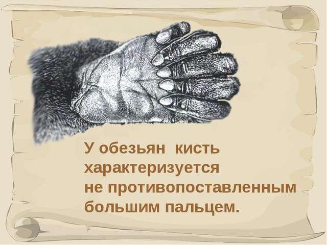 * У обезьян кисть характеризуется не противопоставленным большим пальцем.