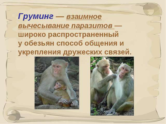 * Груминг— взаимное вычесывание паразитов— широко распространенный уобезья...