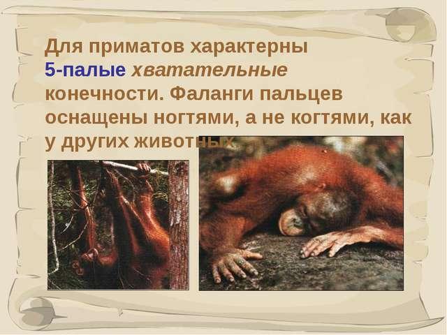 * Для приматов характерны 5-палые хватательные конечности. Фаланги пальцев ос...