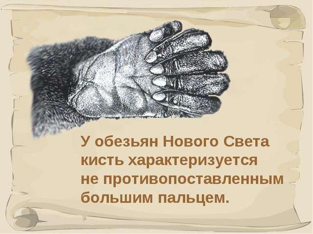 * У обезьян Нового Света кисть характеризуется не противопоставленным большим...