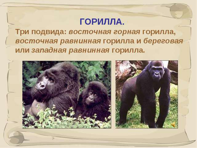 * ГОРИЛЛА. Три подвида: восточная горная горилла, восточная равнинная горилла...
