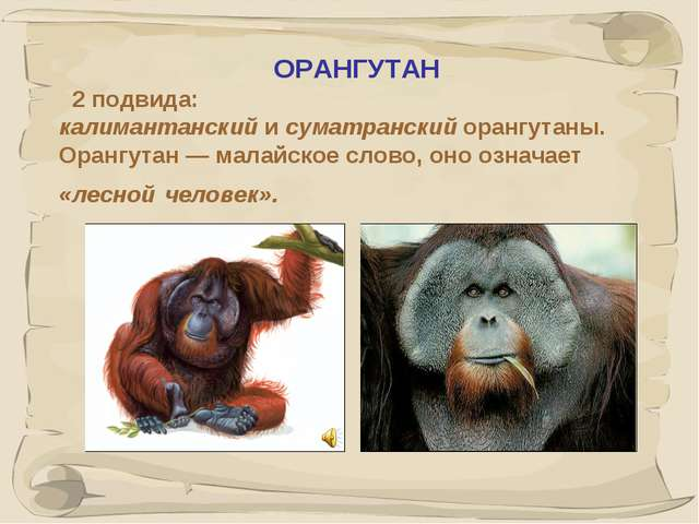 * ОРАНГУТАН 2 подвида: калимантанский и суматранский орангутаны. Орангутан —...
