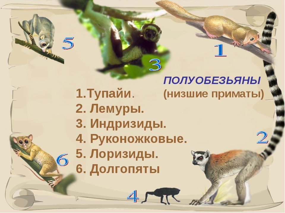 * ПОЛУОБЕЗЬЯНЫ (низшие приматы) 1.Тупайи. 2. Лемуры. 3. Индризиды. 4. Руконож...