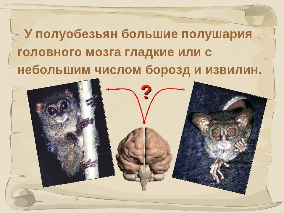 * У полуобезьян большие полушария головного мозга гладкие или с небольшим чис...