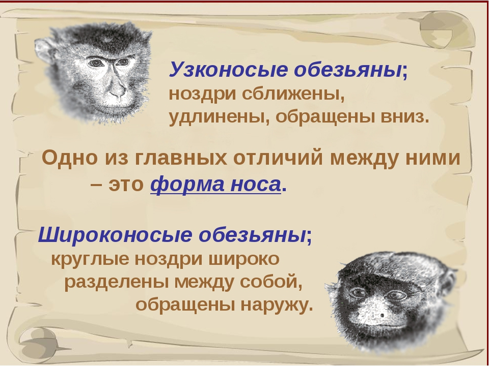 * Одно из главных отличий между ними – это форма носа. Узконосые обезьяны; н...
