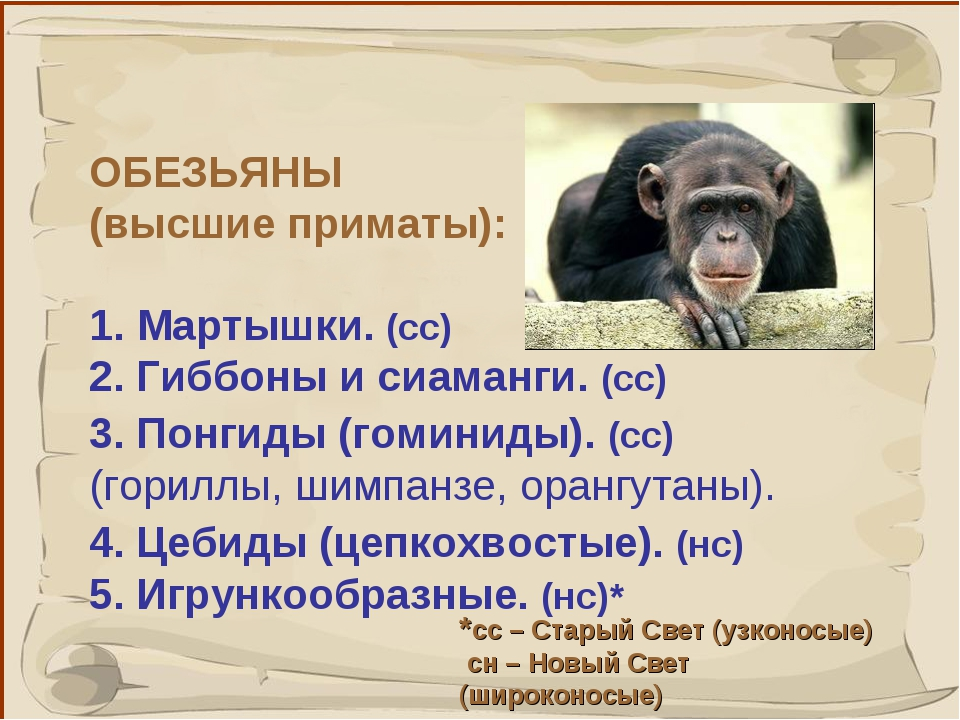 * ОБЕЗЬЯНЫ (высшие приматы): 1. Мартышки. (сс) 2. Гиббоны и сиаманги. (сс) 3....