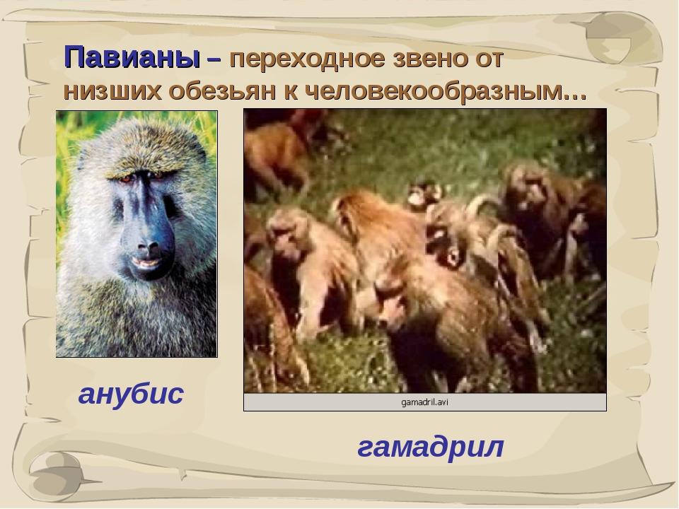 * Павианы – переходное звено от низших обезьян к человекообразным… анубис гам...