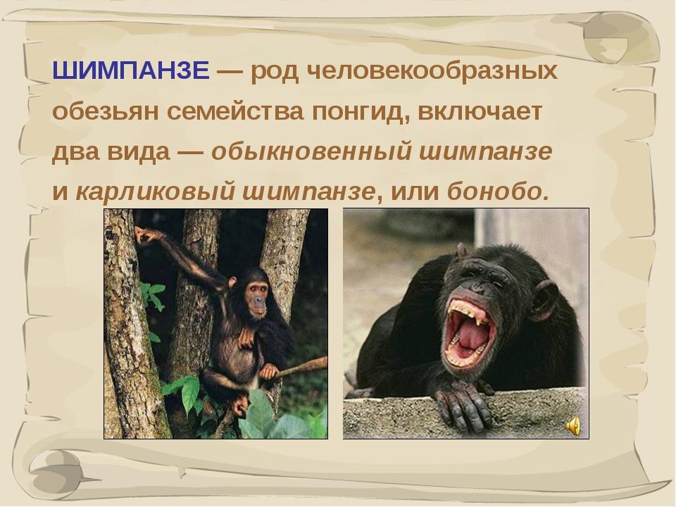 * ШИМПАНЗЕ — род человекообразных обезьян семейства понгид, включает два вида...