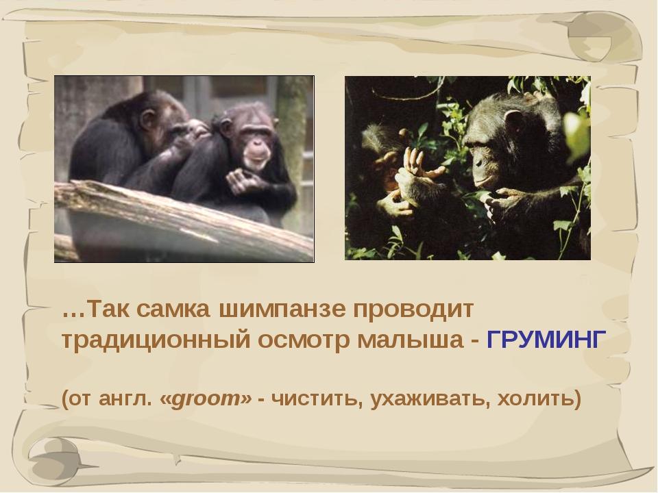 * …Так самка шимпанзе проводит традиционный осмотр малыша - ГРУМИНГ (от англ....