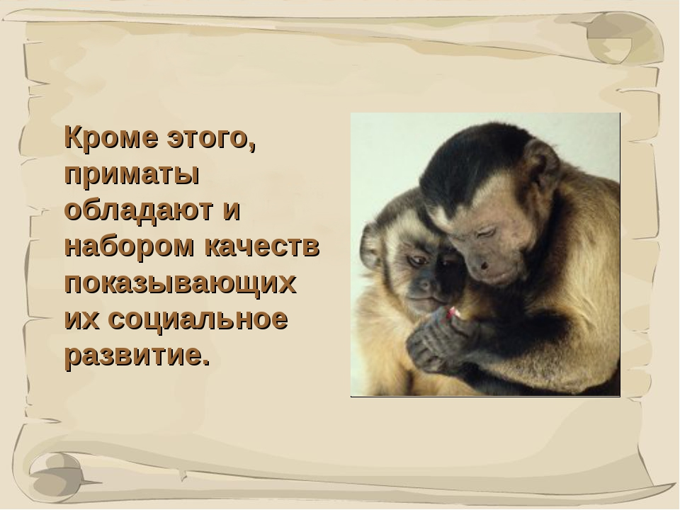 * Кроме этого, приматы обладают и набором качеств показывающих их социальное...