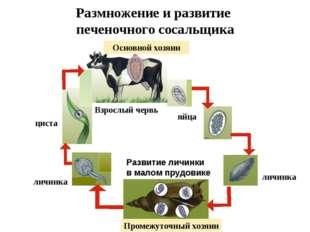 Размножение и развитие печеночного сосальщика Основной хозяин яйца личинка Ра