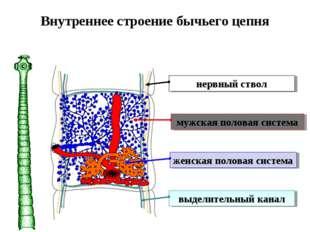 Внутреннее строение бычьего цепня