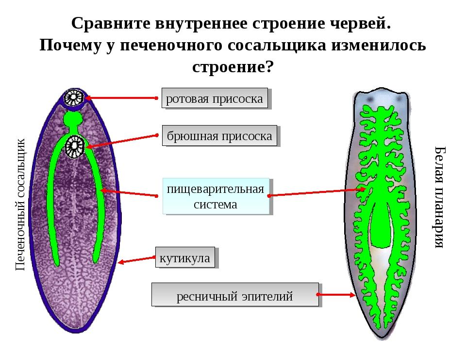 Сравните внутреннее строение червей. Почему у печеночного сосальщика изменило...