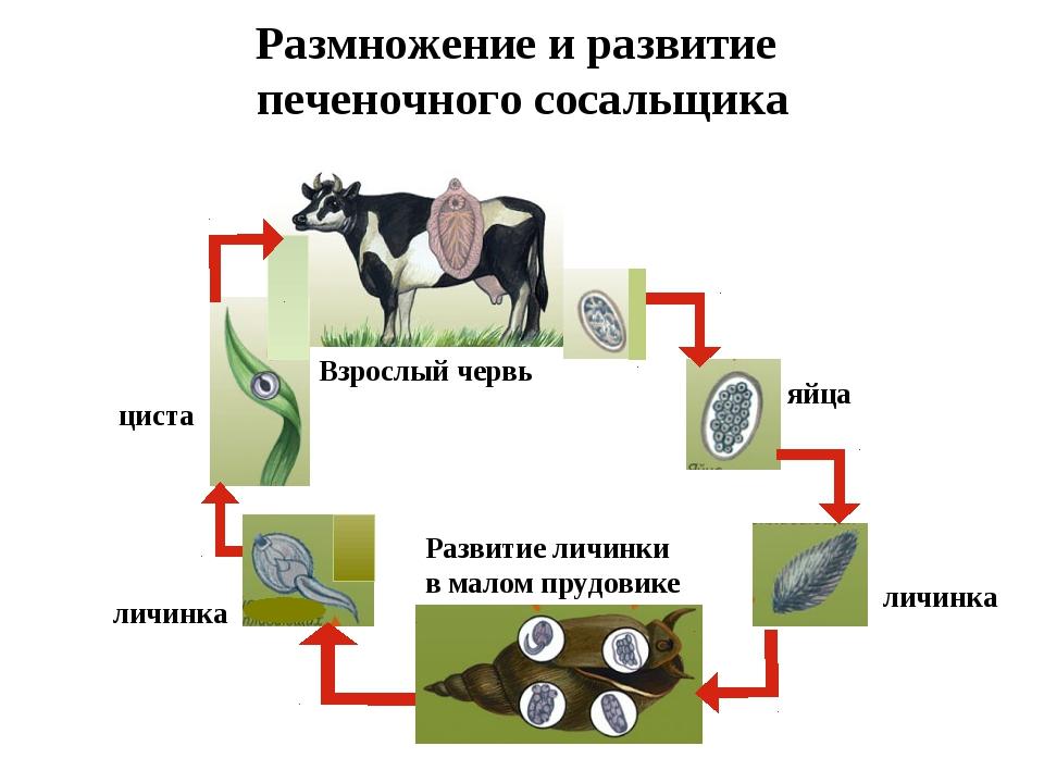 Размножение и развитие печеночного сосальщика яйца личинка Развитие личинки в...