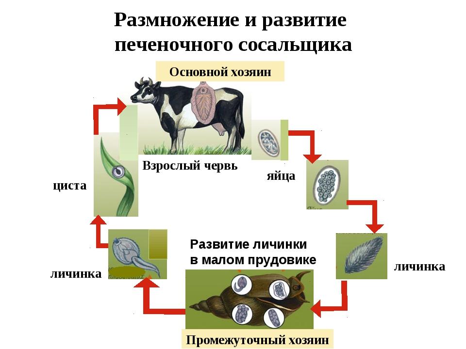 Размножение и развитие печеночного сосальщика Основной хозяин яйца личинка Ра...