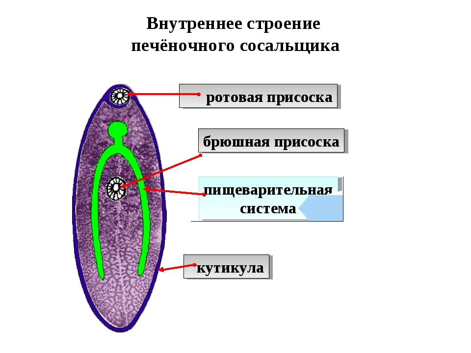 Внутреннее строение печёночного сосальщика