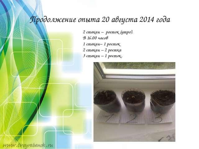 Продолжение опыта 20 августа 2014 года 2 стакан – росток (утро). В 16.00 часо...