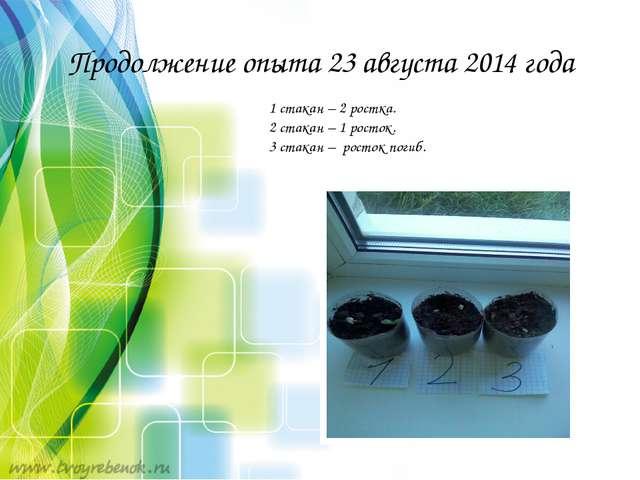 Продолжение опыта 23 августа 2014 года 1 стакан – 2 ростка. 2 стакан – 1 рост...