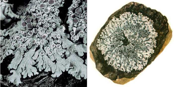Фисция аиполия — Physcia aipolia
