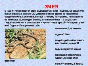 ЗМЕЯ В наших лесах водится один вид ядовитых змей – гадюка. Её серая или бур