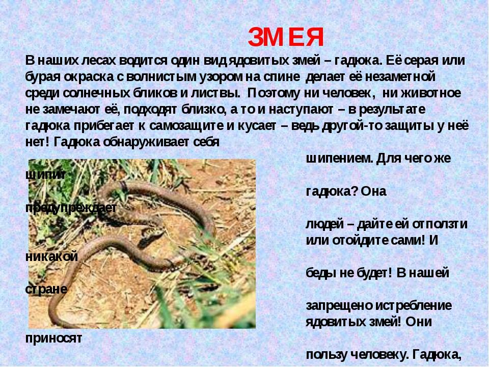 ЗМЕЯ В наших лесах водится один вид ядовитых змей – гадюка. Её серая или бур...