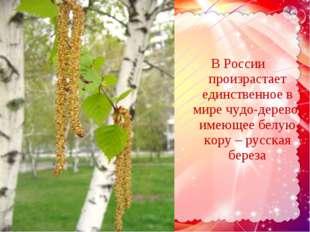 В России произрастает единственное в мире чудо-дерево, имеющее белую кору – р